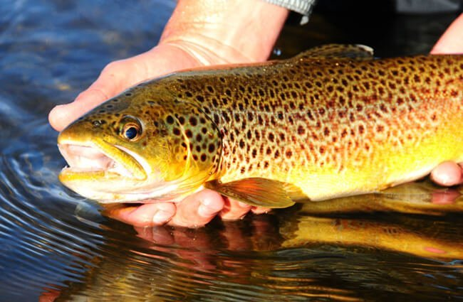 Brown Trout being tagged and released Photo by: USFWS Mountain-Prairie [Public Domain] https://creativecommons.org/licenses/by/2.0/