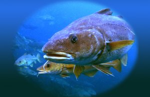 Large CodPhoto by: Per Harald Olsen, NTNU, Faculty of Natural Scienceshttps://creativecommons.org/licenses/by/2.0/