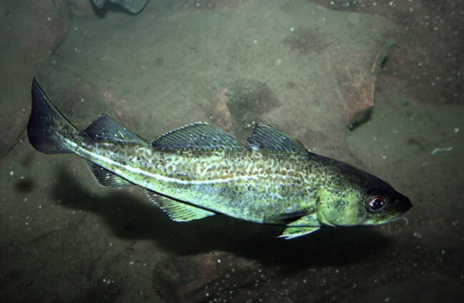 Wild Atlantic Cod Photo by: Peter https://creativecommons.org/licenses/by/2.0/