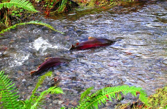 Coho Salmon making its way upstream to spawn Photo by: Oregon Department of Forestry https://creativecommons.org/licenses/by/2.0/