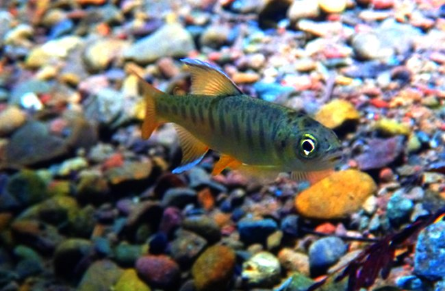 juvenile Coho Salmo Photo by: California Sea Grant https://creativecommons.org/licenses/by/2.0/