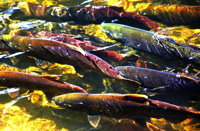 Coho Salmon in crowd going up river to spawn Photo by: (c) billperry www.fotosearch.com