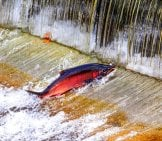 Chinook Coho Salmon Jumping Upstreamphoto By: (C) Billperry Www.fotosearch.com