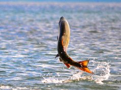 Chum Salmon leaping as it swims upstreamPhoto by: K. Mueller, U.S. Fish and Wildlife Service Headquartershttps://creativecommons.org/licenses/by/2.0/