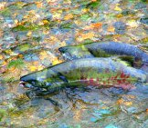 Chum Salmonspawning In Juneau Alaska Photo By: C.nealson, Alaska Region U.s. Fish & Wildlife Service Public Domain