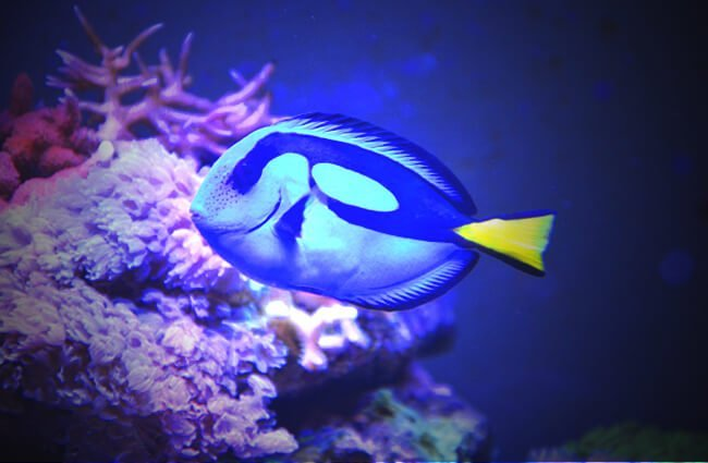 Closeup of a Dory swimming near the bottom Photo by: JacLou DL https://pixabay.com/photos/fish-sea-%E2%80%8B%E2%80%8Bwater-dory-blue-2522271/