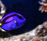 Closeup Of A Dory Fish Photo By: Lenivaya_Panda Https://pixabay.com/photos/fish-Aquarium-Water-Dori-1834805/