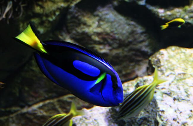Beautiful Dory talking to some little fish Photo by: Rob Chandler https://creativecommons.org/licenses/by-sa/2.0/