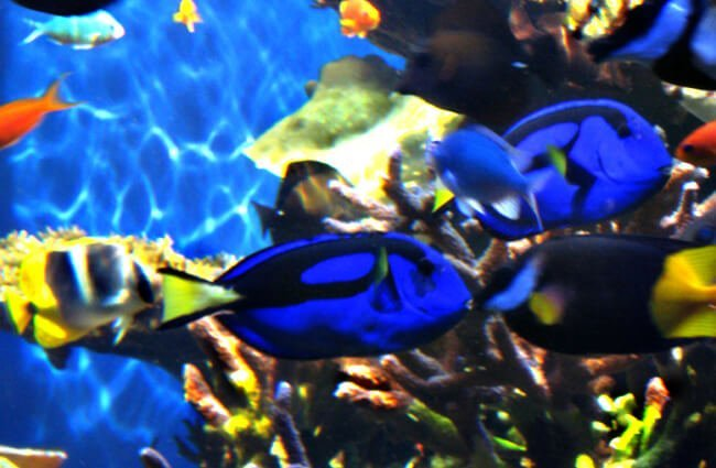 Dory — Regal Blue Tang Photo by: Meredith P. https://creativecommons.org/licenses/by-sa/2.0/