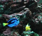 Dory And An Orange Clownfish Photo By: Popofatticus Https://creativecommons.org/licenses/by-Sa/2.0/