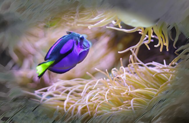 Dory among the anemones Photo by: Dave Dugdale https://creativecommons.org/licenses/by-sa/2.0/