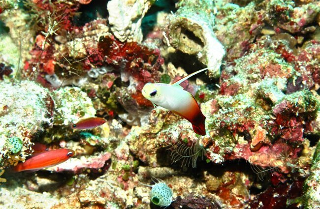 Fire Goby Photo by: Bernard DUPONT https://creativecommons.org/licenses/by-sa/2.0/