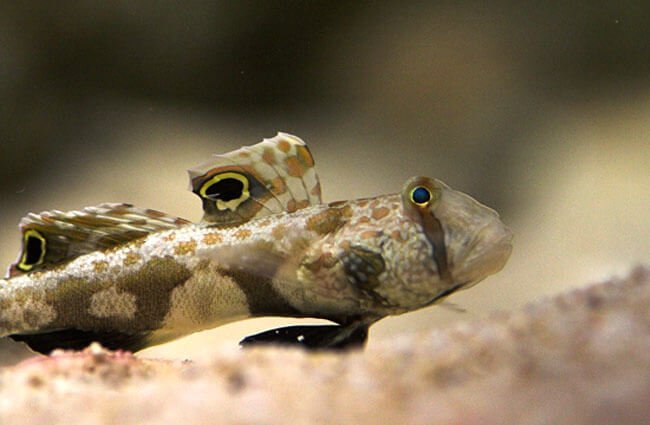 Goby Photo by: su neko https://creativecommons.org/licenses/by-sa/2.0/