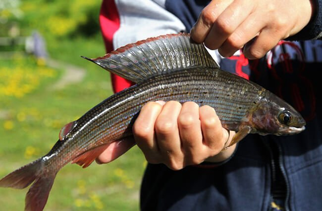 Notice this Grayling's sail-like dorsal fin Photo by: (c) ASB63 www.fotosearch.com