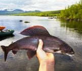 This Beautiful Grayling Was Caught On A Dry Fly.photo By: Shankar S.https://creativecommons.org/licenses/by/2.0/