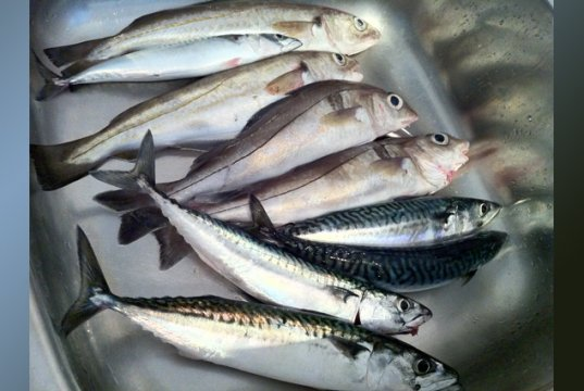 Day's catch of HaddockPhoto by: Wapsterhttps://creativecommons.org/licenses/by/2.0/