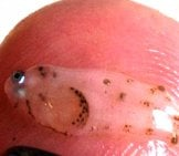 Hake Larva Photo By: Noaa Photo Library Cc By Https://Creativecommons.org/Licenses/By/2.0