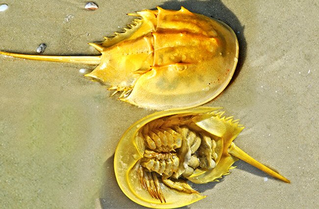 A Horseshoe Crab, both it's top and undersides Photo by: Don Johnson 395 https://creativecommons.org/licenses/by-nd/2.0/