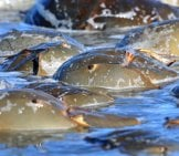 Horseshoe Crab Photo By: Gregory Breese, U.s. Fish And Wildlife Service Northeast Region [Public Domain] Https://creativecommons.org/licenses/by-Nd/2.0/