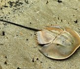 Mangrove Horseshoe Crab Photo By: Bernard Dupont Https://creativecommons.org/licenses/by-Nd/2.0/