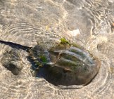 Horseshoe Crab In The Shallow Waters At The Beachphoto By: Larry Lamsahttps://creativecommons.org/licenses/by-Nd/2.0/