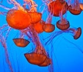 Hauntingly Beautiful, These Orange-Hued Jellyfish Photo By: Richard Https://creativecommons.org/licenses/by-Sa/2.0/