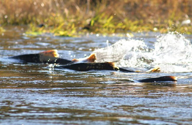 Chinook Salmon, running up the Lower Tuolumne River Photo by: Dan Cox, USFWS Pacific Southwest Regionhttps://creativecommons.org/licenses/by/2.0/
