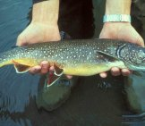 Fresh-Caught Lake Troutphoto By: U.s. Fish And Wildlife Service [Public Domain]