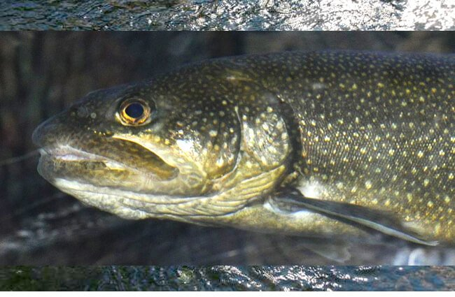 Closeup of a Lake Trout's head Photo by: Jarek Tuszyński CC BY https://creativecommons.org/licenses/by/4.0