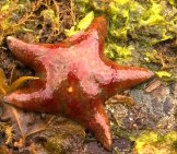 Leather Star Stranded On The Beach Photo By: David~O Https://creativecommons.org/licenses/by/2.0/