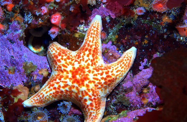 Leather Star in a tide poolPhoto by: Ed Biermanhttps://creativecommons.org/licenses/by/2.0/