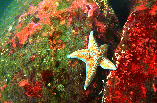 Leather Sea Star at the Olympic Coast National Marine Sanctuary Photo by: David J. Ruck, NOAA Office of National Marine Sanctuaries [public domain] https://creativecommons.org/licenses/by/2.0/