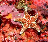 Leather Star Photo By: Ed Bierman From California Cc By Https://creativecommons.org/licenses/by/2.0
