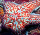 Closeup Of A Leather Star Photo By: Chad King / Noaa Mbnms [Public Domain]