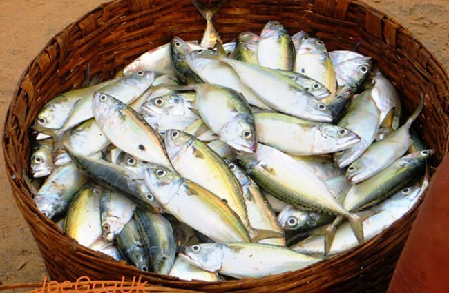 Basket of fresh-caught Mackerel Photo by: Joegoauk Goa https://creativecommons.org/licenses/by/2.0/
