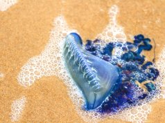 Portuguese Man of War on a beach in South Padre, TexasPhoto by: (c) urbanlight www.fotosearch.com