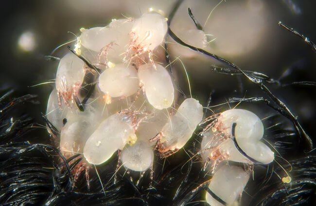 House Dust Mites Photo by: Gilles San Martin https://creativecommons.org/licenses/by-sa/2.0/