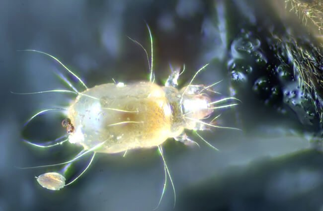 This Bee Nest Mite Photo by: Gilles San Martin https://creativecommons.org/licenses/by-sa/2.0/