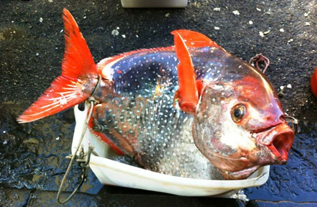 King Fish caught in Naples, Italy Photo by: [public domain]