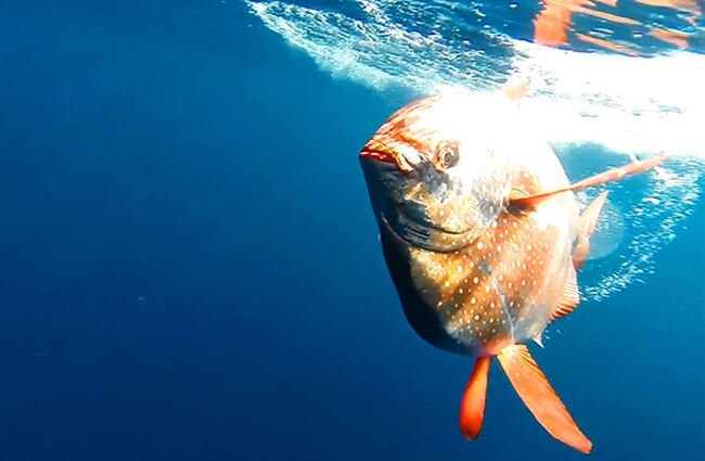 This warm-blooded Opah is a species of Moon Fish Photo by: NOAA Southwest Fisheries Science Center https://swfsc.noaa.gov/