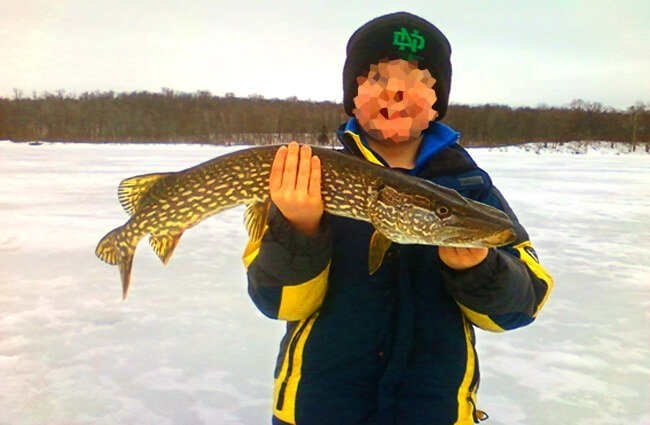Northern Pike Photo by: Neil Powers, U.S. Fish and Wildlife Service Headquarters https://creativecommons.org/licenses/by-sa/2.0/