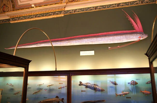 Giant Oarfish Photo by: Sandstein CC BY https://creativecommons.org/licenses/by/3.0