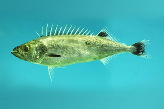 Oil Fish caught in the Gulf of MexicoPhoto by: NOAANMFSMississippi Laboratory CC BY https://creativecommons.org/licenses/by/3.0