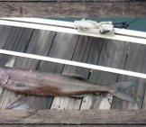 Oil Fish, Caught Off The Canary Islands