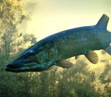 A Northern Pike Photographed In Bavaria, Germany Photo By: Katdaned Https://creativecommons.org/licenses/by/2.0/