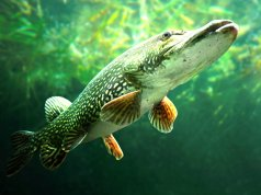 Underwater photo of a big Northern PikePhoto by: Neil Wardhttps://creativecommons.org/licenses/by/2.0/