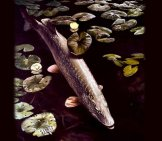 Northern Pike Fish Underwater Photo By: Hines Robert W, U.s. Fish And Wildlife Service [Public Domain]