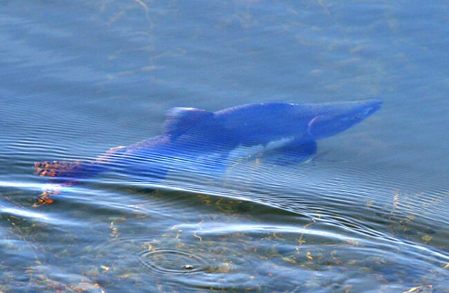 Humpback Salmon at Potter Marsh in Alaska Photo by: Arthur Chapman https://creativecommons.org/licenses/by/2.0/