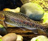 Rainbow Trout Yearling Photo By: Robert Pos Https://creativecommons.org/licenses/by/2.0/