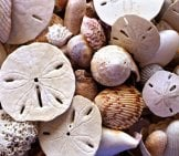 Sand Dollars Among The Sea Shells Photo By: Terri Cnudde Https://pixabay.com/photos/shells-Beach-Seaside-Sand-Dollars-2217529/